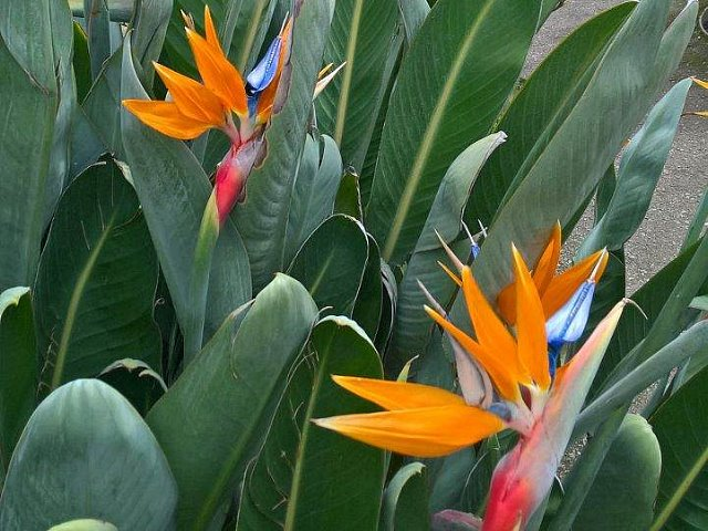 The white strelitzia